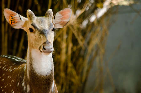 axis deer: Chital or cheetal deer (Axis axis), also known as spotted deer or axis deer in the forest Stock Photo