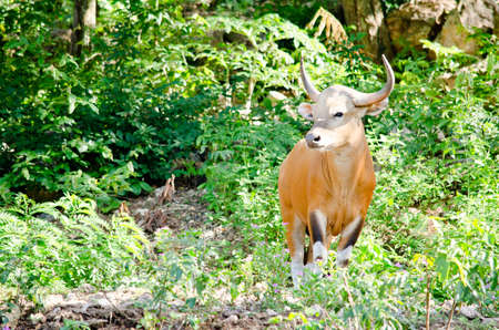 endangered species: Banteng  was in Red List of Threatened Species in Endangered species in nature ,Thailand and it looking something on the rock Stock Photo