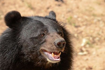 wet bear: Black Bear is dangerous species in forest ,thailand and it live everwherer in forest , v-shape