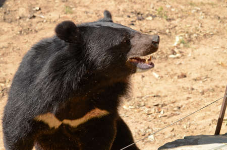 stocky: Black Bear is dangerous species in forest ,thailand and it live everwherer in forest , v-shape