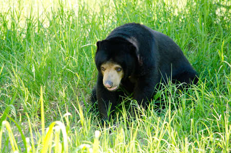 omnivore: malayun sun bear is dangerous species in forest ,thailand and it have black hair, u-shape Stock Photo