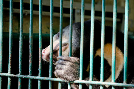 omnivore animal: malayun sun bear is dangerous species in forest ,thailand and it have black hair, u-shape Stock Photo