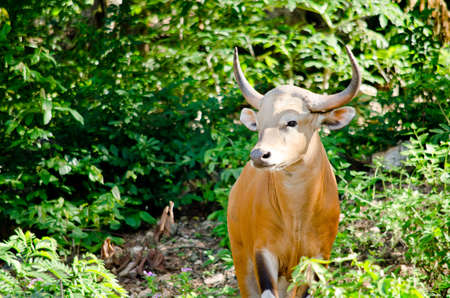 guar: Banteng  was in Red List of Threatened Species in Endangered species in nature ,Thailand and it looking something on the rock Stock Photo