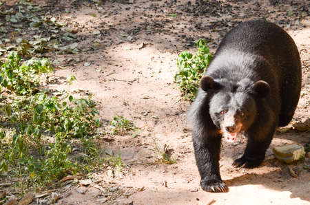 omnivore animal: Black Bear is dangerous species in forest ,thailand and it live everwherer in forest , v-shape