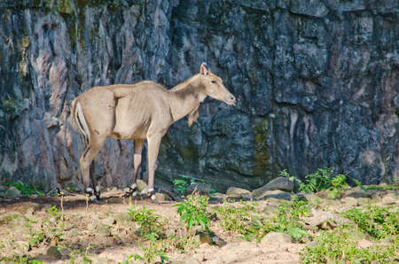 endangered species: Elds deer (Panolia eldii) also known as the thamin or brow-antlered deer, is an endangered species of deer indigenous to Southeast Asia Stock Photo