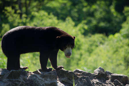 stocky: malayun sun bear is dangerous species in forest ,thailand and it have black hair, u-shape Stock Photo