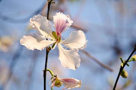 orchid tree: Bauhinia variegata is quite a sight to see a whole tree covered with these spectacular orchid-like blossoms that are up to 5 in 12.7 across and orchid tree is used as a street tree ,shade tree ,specimen or focal tree in tropical and subtropical landscapes Foto de archivo