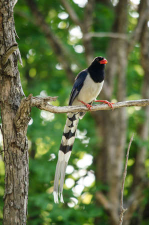 corvidae: red billed blue magpie is corvidae family of avian . body of bird have blue , white and black colour. its carnivor