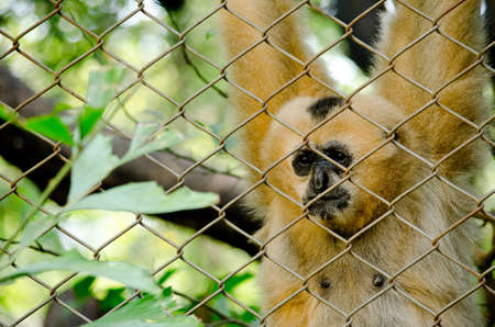 primates: white-handed gibbon is primates in mammalia ,mostly it catch branch on the tree in dry deciduous forest Stock Photo