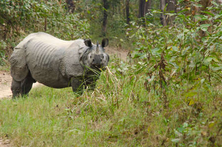 herbivores: rhinoceros, plural rhinoceroses, rhinoceros, or rhinoceri,   any of five or six species of giant, horn-bearing herbivores that include some of the largest living land mammals.