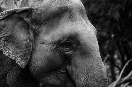 asian elephant: Elephants are large mammals of the family Elephantidae and the order Proboscidea.  Two species are traditionally recognised, the African elephant  and the Asian elephant Elephants are herbivorous and can be found in  different habitats including savannahs Stock Photo