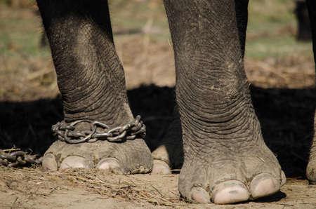 elefant: Elefanten sind große Säugetiere der Familie Elephantidae und die Reihenfolge Proboscidea. Zwei Arten sind traditionell anerkannten, der afrikanische Elefant und die asiatischen Elefanten Elefanten sind pflanzenfressenden und kann in verschiedenen Lebensräumen einschließlich Savannen gefunden werden Lizenzfreie Bilder