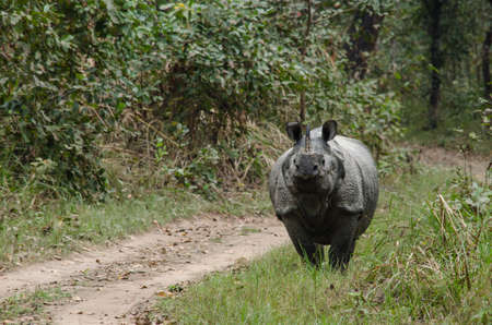 species living: rhinoceros, plural rhinoceroses, rhinoceros, or rhinoceri,   any of five or six species of giant, horn-bearing herbivores that include some of the largest living land mammals.