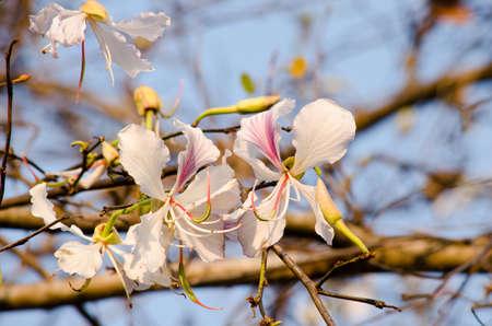 orchid tree: Variegata Bauhinia es todo un espect�culo ver a todo un �rbol cubierto de estas flores, orqu�deas como espectaculares que son hasta 5 en 12,7 de ancho y �rbol de orqu�dea se utiliza como un �rbol de calle, �rbol de sombra, muestra o �rbol focal en paisajes tropicales y subtropicales Foto de archivo