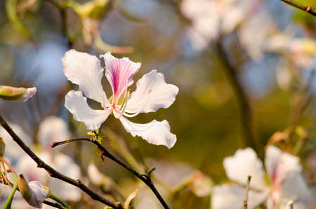 Bauhinia variegata is quite a sight to see a whole tree covered with these spectacular orchid-like blossoms that are up to 5 in 12.7 across and orchid tree is used as a street tree ,shade tree ,specimen or focal tree in tropical and subtropical landscapes Standard-Bild