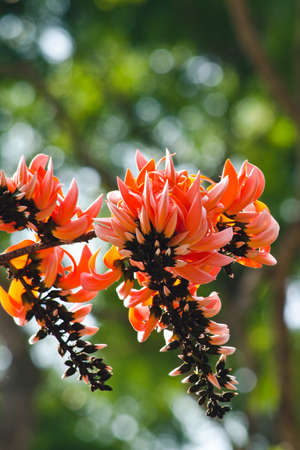 erythrina: Bastard Teak is species of Butea native to tropical and sub-tropical parts of the indian subcontinent and Southeast Asia . it is a medium sized dry season-deciduous tree,growing to 15 m tall