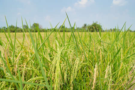 rice field: Oryza sativa is the plant species most commonly referred to in English as rice. Rice is known to come in a variety of colors, including: white rice, brown rice, black rice,  purple rice, and red rice. Stock Photo