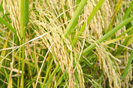 arroz blanco: Oryza sativa es la especie vegetal m�s com�nmente se refiere el Ingl�s como el arroz. Rice se sabe que vienen en una variedad de colores, incluyendo: arroz blanco, arroz integral, arroz negro, arroz p�rpura, y el arroz rojo. Foto de archivo