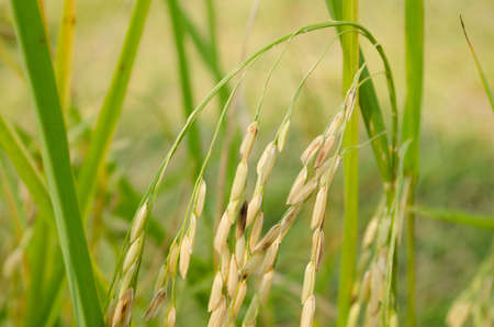 rice terrace: Oryza sativa is the plant species most commonly referred to in English as rice. Rice is known to come in a variety of colors, including: white rice, brown rice, black rice,  purple rice, and red rice. Stock Photo