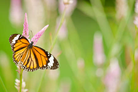 black butterfly: monarch butterfly is a milkweed butterfly in the family Nymphalidae and is flying around pink flower in garden  have green background Stock Photo
