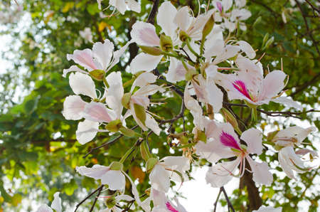 orchid tree: Bauhinia variegata is quite a sight to see a whole tree covered with these spectacular orchid-like blossoms that are up to 5 in 12.7 across and orchid tree is used as a street tree ,shade tree ,specimen or focal tree in tropical and subtropical landscapes Stock Photo