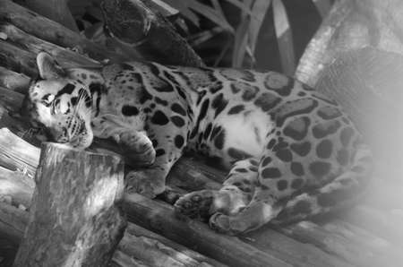 clouded leopard is big cat but small than tiger and have pattern body like cloud