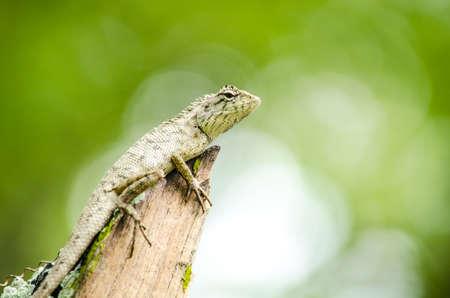 lagartija: lagarto bosque de emma gris, también conocido como el bosque de cresta lagarto, es un lagarto agamid y comer insectos para la alimentación, Foto de archivo