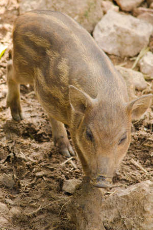 guar: wildboar is baby animal in forest and have pattern body diffrent adult wildboar Stock Photo