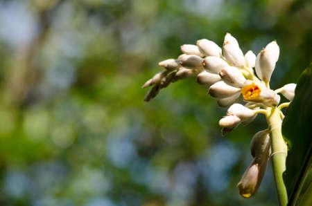 plants species: Alpinia � un genere di piante da fiore della famiglia dello zenzero, Zingiberaceae. Prende il nome di Prospero Alpini, Specie sono originario dell'Asia, Australia e le isole del Pacifico, dove si verificano in climi tropicali e subtropicali. Archivio Fotografico