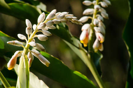 pacific islands: Alpinia is a genus of flowering plants in the ginger family, Zingiberaceae. It is named for Prospero Alpini, Species are native to Asia, Australia, and the Pacific Islands, where they occur in tropical and subtropical climates.