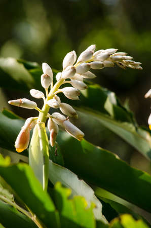 plants species: Alpinia is a genus of flowering plants in the ginger family, Zingiberaceae. It is named for Prospero Alpini, Species are native to Asia, Australia, and the Pacific Islands, where they occur in tropical and subtropical climates.