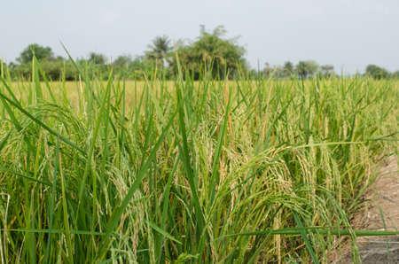arroz: Oryza sativa es la especie vegetal más comúnmente se refiere el Inglés como el arroz. Rice se sabe que vienen en una variedad de colores, incluyendo: arroz blanco, arroz integral, arroz negro, arroz púrpura, y el arroz rojo. Foto de archivo