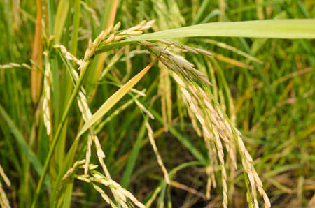 land management: Oryza sativa is the plant species most commonly referred to in English as rice. Rice is known to come in a variety of colors, including: white rice, brown rice, black rice,  purple rice, and red rice. Stock Photo