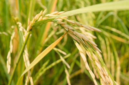 rice: Oryza sativa es la especie vegetal más comúnmente se refiere el Inglés como el arroz. Rice se sabe que vienen en una variedad de colores, incluyendo: arroz blanco, arroz integral, arroz negro, arroz púrpura, y el arroz rojo. Foto de archivo