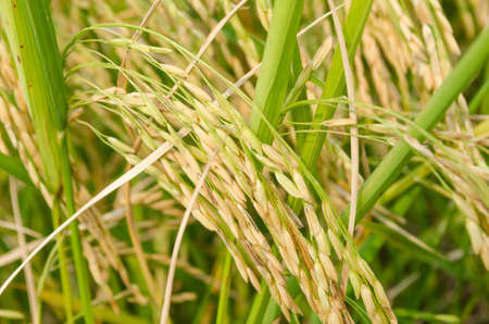 Oryza sativa is the plant species most commonly referred to in English as rice. Rice is known to come in a variety of colors, including: white rice, brown rice, black rice, purple rice, and red rice. Standard-Bild