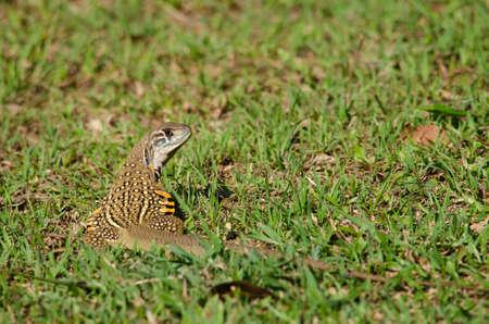 lagartija: Leiolepis, com�nmente conocida como lagartos mariposa o agamas mariposa, son grupo de lagartos agamid de los cuales se sabe muy poco. Ellos son nativos de Tailandia, Birmania, Laos, Camboya, Indonesia y Vietnam.
