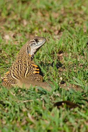jaszczurka: Leiolepis, powszechnie znany jako jaszczurek motyla lub agamas motyla, to grupa Agamid jaszczurek, z których niewiele wiadomo. Wszystkie pochodzą z Tajlandii, Birmy, Laosu, Kambodży, Indonezji i Wietnamie.