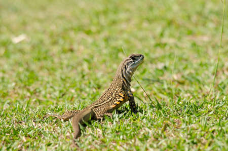 cold blooded: Leiolepis, commonly known as butterfly lizards or butterfly agamas, are group of agamid lizards of which very little is known.  They are native to Thailand, Burma, Laos, Cambodia, Indonesia, and Vietnam.