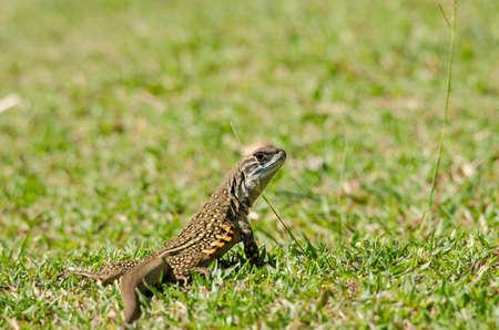 lagartija: Leiolepis, comúnmente conocida como lagartos mariposa o agamas mariposa, son grupo de lagartos agamid de los cuales se sabe muy poco. Ellos son nativos de Tailandia, Birmania, Laos, Camboya, Indonesia y Vietnam.