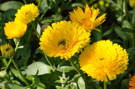 pinnately: Cosmos sulphureus is considered a half-hardy annual, although plants may re-appear via self-sowing for several years.  Its foliage is opposite and pinnately divided.