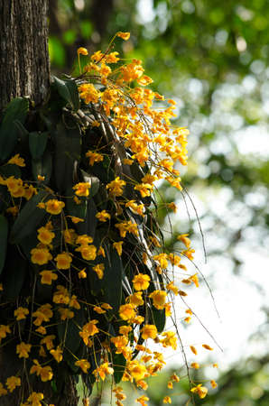 arunachal pradesh: Dendrobium lindleyi Steud is a plant of the genus Dendrobium. They are found in the mountains of southern China  (Guangdong, Guangxi, Guizhou, Hainan) and Southeast Asia (Assam, Bangladesh, Arunachal Pradesh, Laos, Myanmar, Thailand, Vietnam)