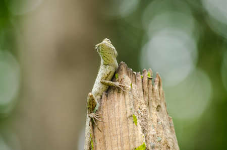 grays: emma grays forest lizard also know as the forest crested lizard, is an agamid lizard and eat insect for food ,