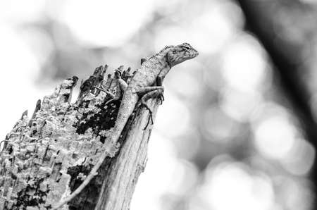 cold blooded: emma grays forest lizard also know as the forest crested lizard, is an agamid lizard and eat insect for food ,