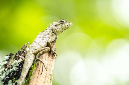 lagarto: lagarto bosque de emma gris, también conocido como el bosque de cresta lagarto, es un lagarto agamid y comer insectos para la alimentación, Foto de archivo