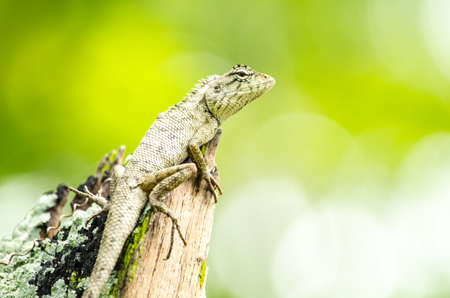 jaszczurka: emma grays forest lizard also know as the forest crested lizard, is an agamid lizard and eat insect for food ,