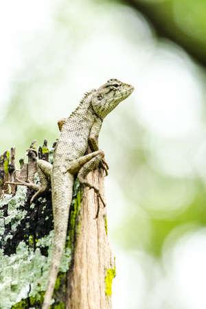 lagartija: lagarto bosque de emma gris, tambi�n conocido como el bosque de cresta lagarto, es un lagarto agamid y comer insectos para la alimentaci�n, Foto de archivo