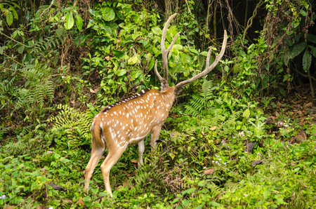axis: Chital or cheetal deer (Axis axis), also known as spotted deer or axis deer in the forest Stock Photo