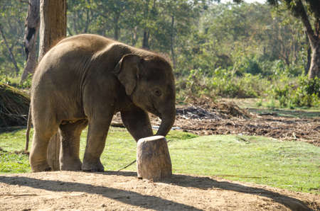 recognised: Elephants are large mammals of the family Elephantidae and the order Proboscidea.  Two species are traditionally recognised, the African elephant  and the Asian elephant Elephants are herbivorous and can be found in  different habitats including savannahs Stock Photo