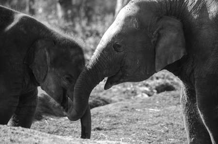habitats: Elephants are large mammals of the family Elephantidae and the order Proboscidea.  Two species are traditionally recognised, the African elephant  and the Asian elephant Elephants are herbivorous and can be found in  different habitats including savannahs Stock Photo