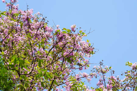 derived: Lagerstroemia calyculata  is derived from its very characteristic mottled flaky bark.
